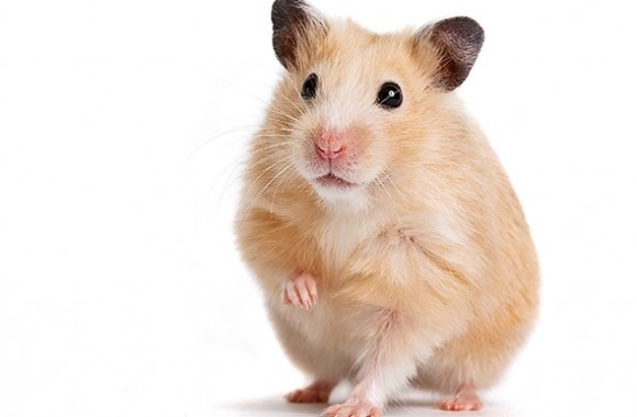 140710_WILD_Hamster.jpg.CROP.promo-mediumlarge